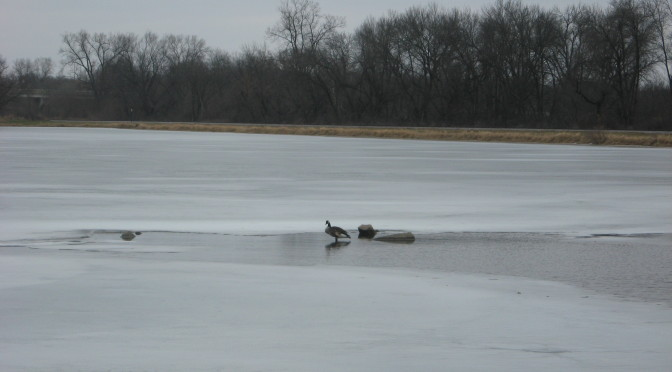 Geese on lake marion in spring