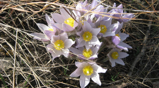 Lake Marion - Pasque flower