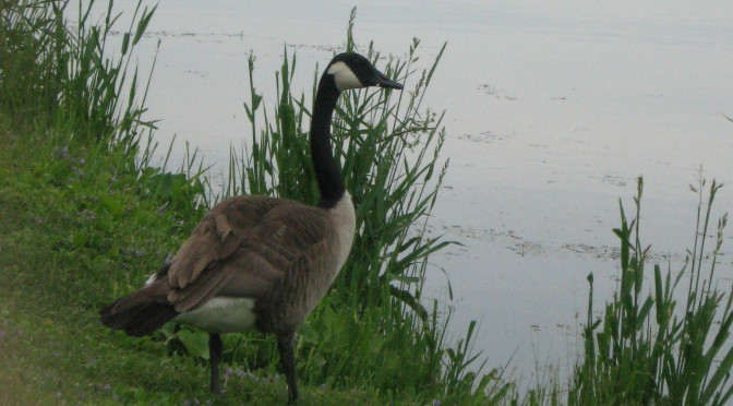 canadian goose. Lake Marion Mazomanie, WI